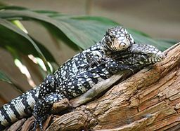 argentine tegus lizard