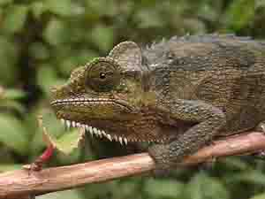 kenyan chameleon