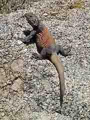 chuckwalla desert lizard