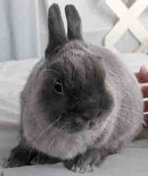 netherland dwarf pet rabbit
