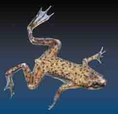 dward underwater frog