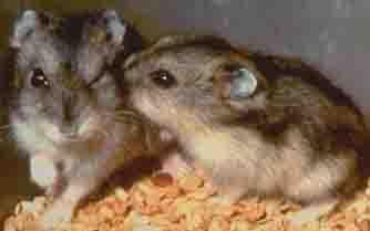 duzungarian hamster breed