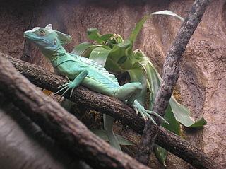 Water Lizard Water Dragon And Basilisk Care