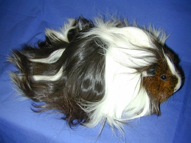 guinea pig breed silkie