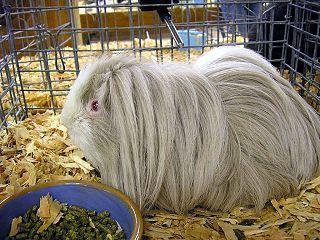 guinea pig breed peruvian