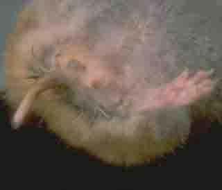 hamster wet tail disease