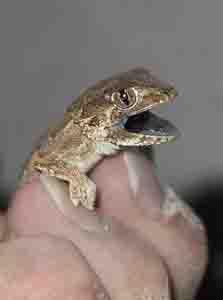 helmeted gecko