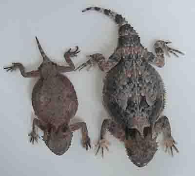 horned desert lizards