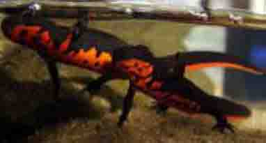 japanese fire bellied newt