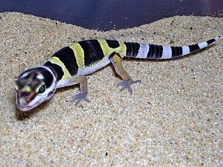 petco leopard geckos best image of leopard 2018
