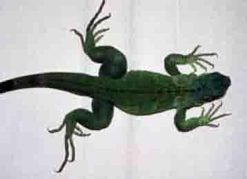 lizard disease mbd