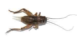 lizard food crickets