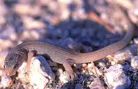 night desert lizard