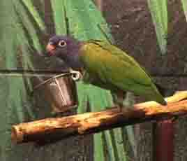parakeet health diet