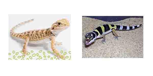 Big Pet Lizards Pet Lizards