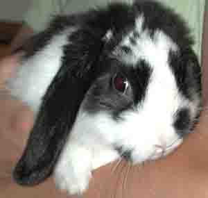 pet rabbit mini lop