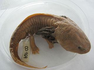 pet reptile axolotl