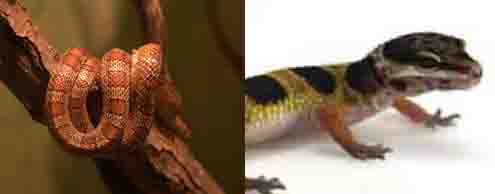 pet reptiles