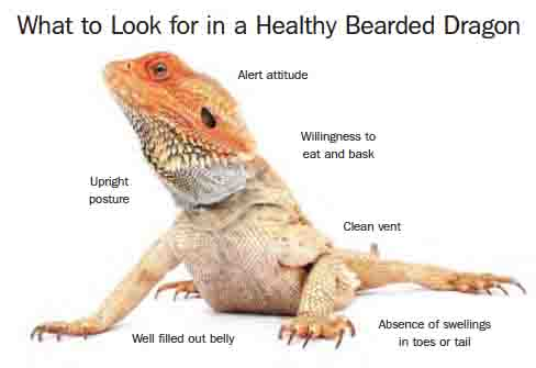 Pet Bearded Dragon Guide To Care Cages Health And Diet