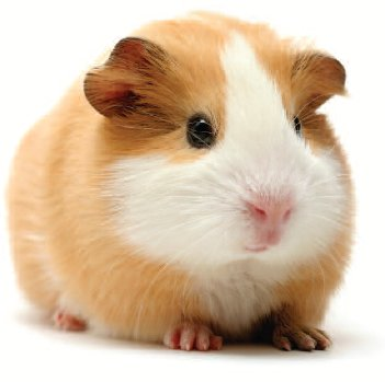 pet golden hamster
