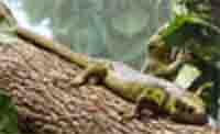 prehensile tailed skink