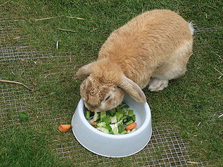 rabbit diet