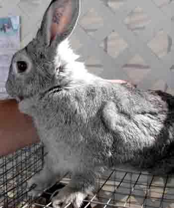 rabbit health