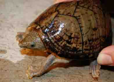 razor backed musk turtle