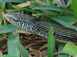 savanna glass lizard