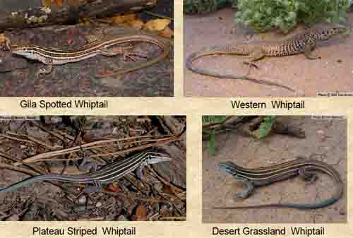 Savanna Lizards Pictures Videos Habitat and Information