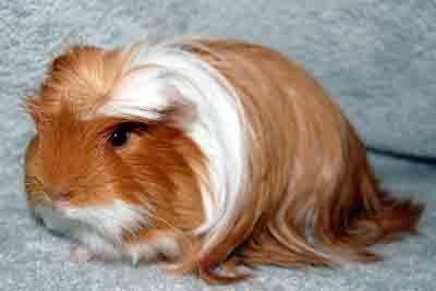coronet guinea pig