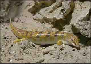 desert sandfish lizard