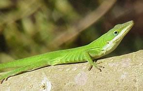 Anole Lizard Chameleons Geckos And Other Woodland Lizard Species