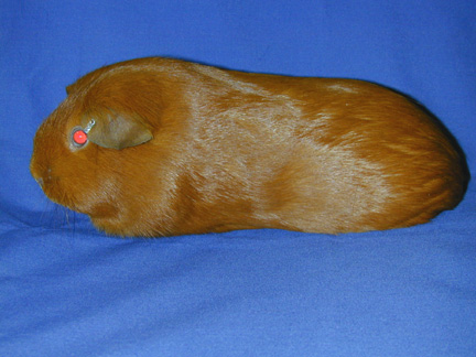 Guinea Pigs Care Information Diet, Cages and Health