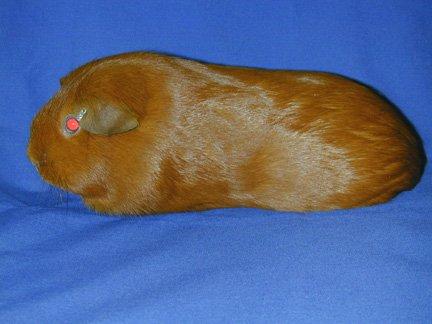 amercian guinea pig