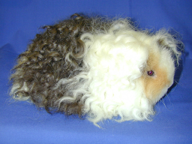 texel guinea pig breed