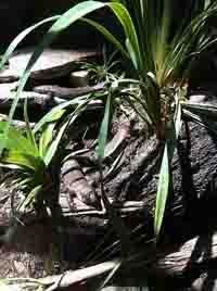 3 skink lizards