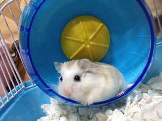 white face roborovski dwarf hamster