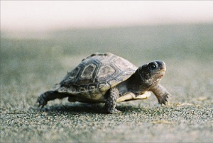 baby pet turtle crossing the road