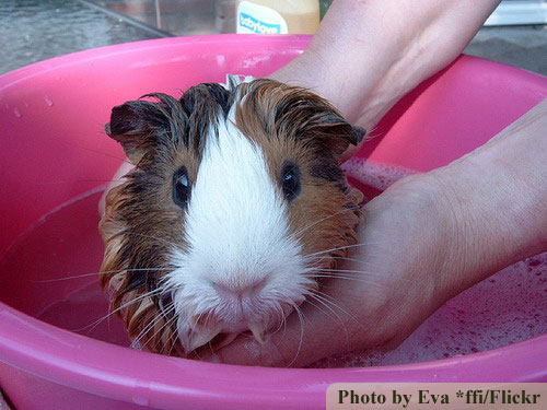 how to clean guinea pig feet