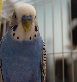 blue budgie looking smart