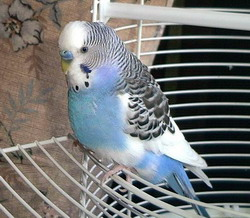 budgerigar taking nap