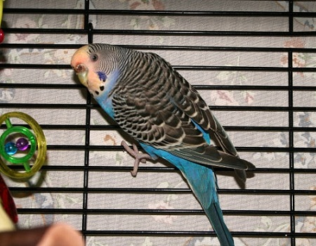 blue budgie parakeet in cage
