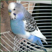 budgie parakeets