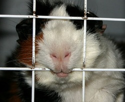 guinea pig biting the cage
