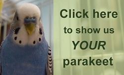 parakeet photos