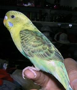 finger training parakeet