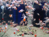 Fish as pet in aquarium
