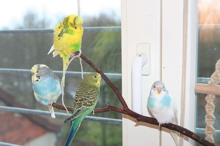 four budgie parakeets