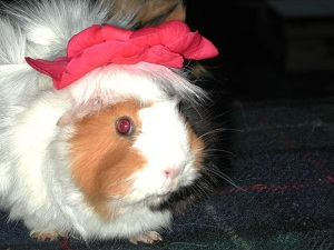 funny guinea pig with ribbon